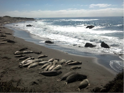 Elephant Seals resting