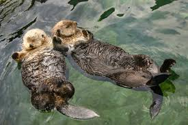 Sea Otters flowing in the ocean off Vancouver Island